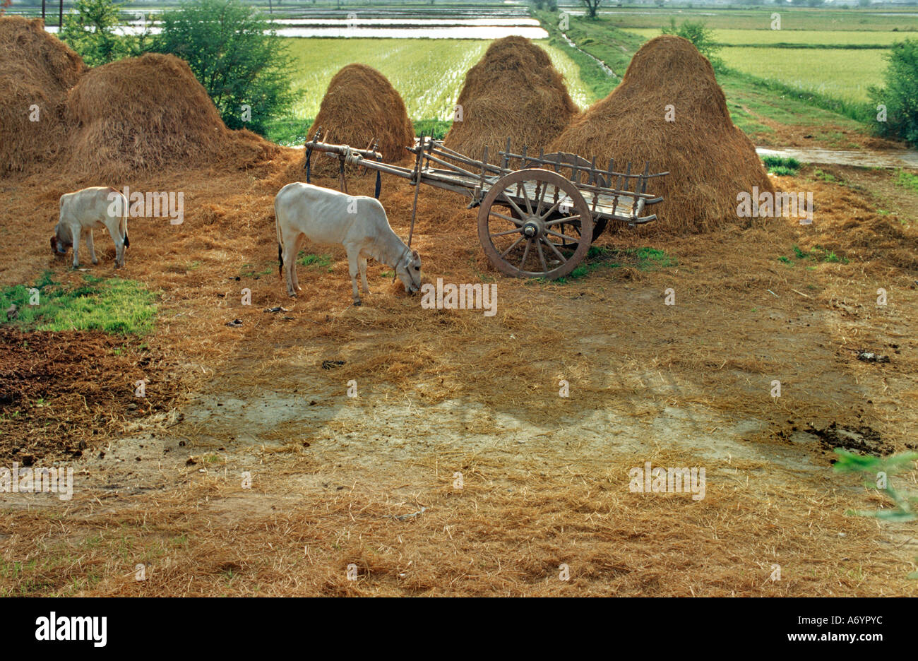 Rural scene with cattle eating straw beside a cart and lush rice fields beyond Taungboyone nr Mandalay Burma - Stock Image
