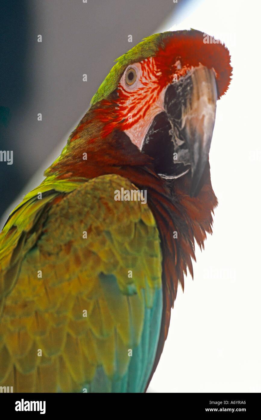 Australian parrot - Stock Image