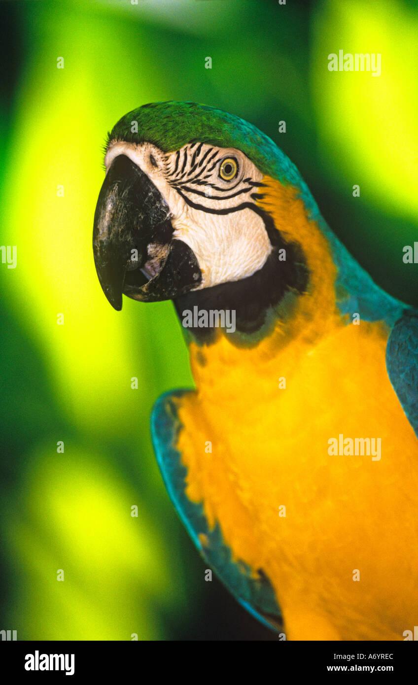 Blue yellow (Ara ararauna) Macaw parrot - Stock Image