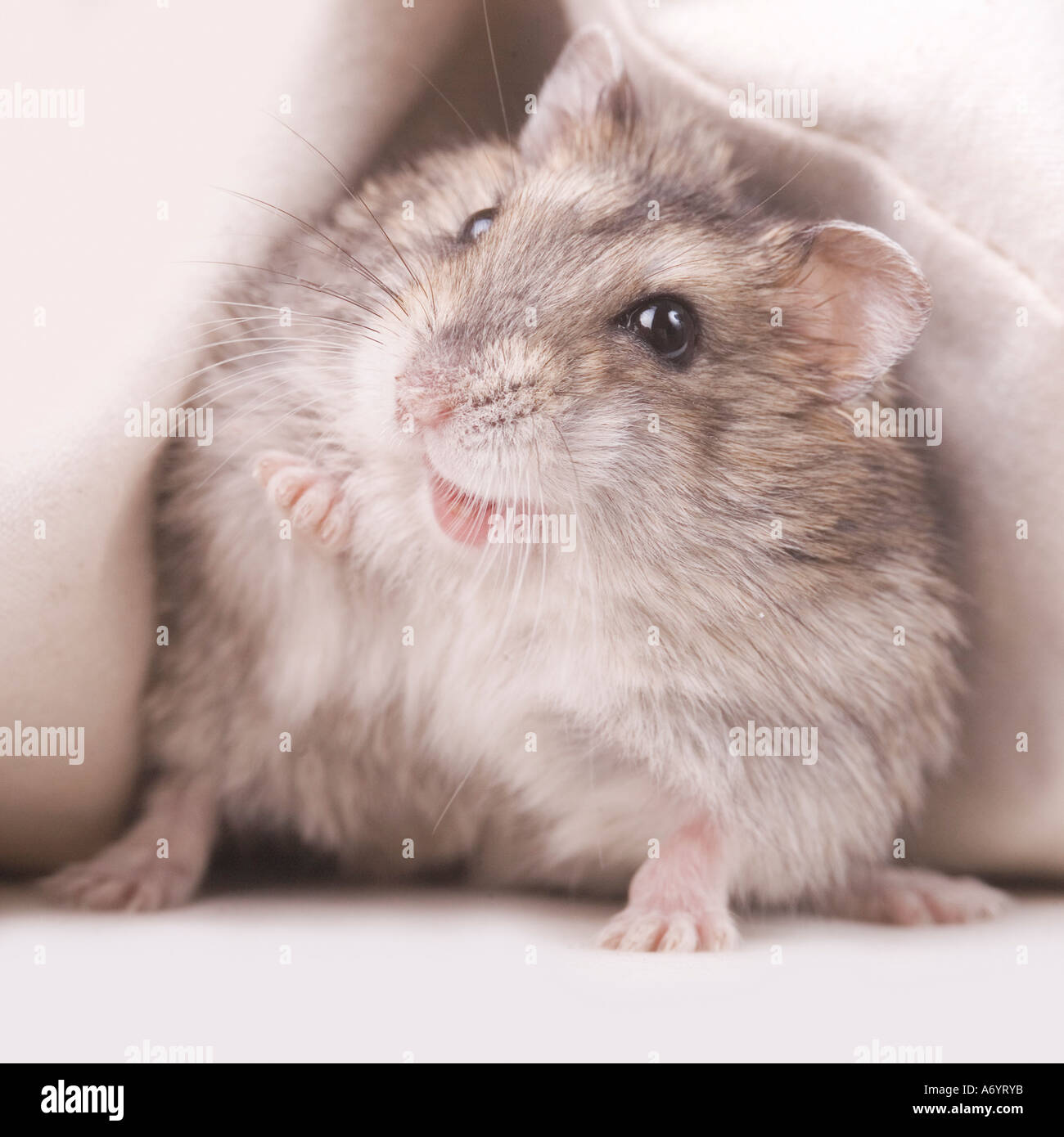 Cheeky hamster - Stock Image