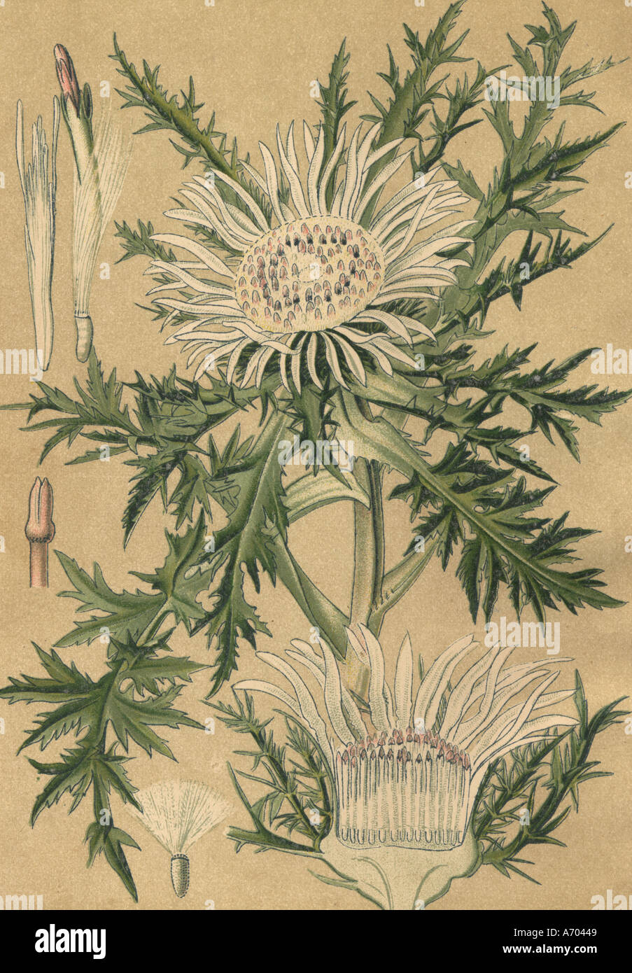 Medicinal plant Carlina acaulis Eberwurz historical 1895 - Stock Image