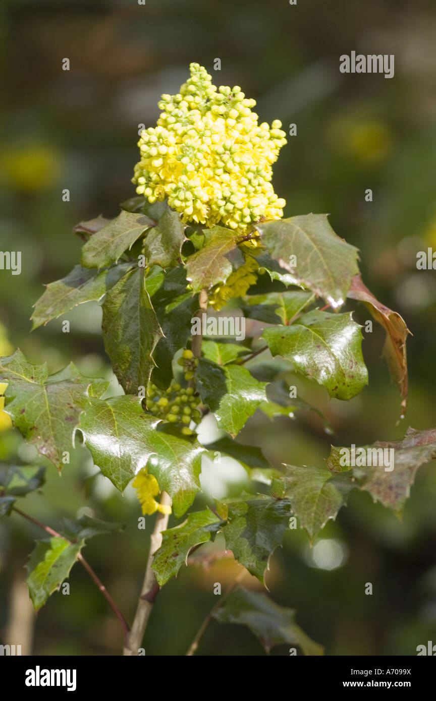 Mahonia berberidaceae aquifolium yellow stock photos mahonia yellow flowers of hollyleaved barberry or oregon grape or berberis mahonia aquifolium berberidaceae mightylinksfo