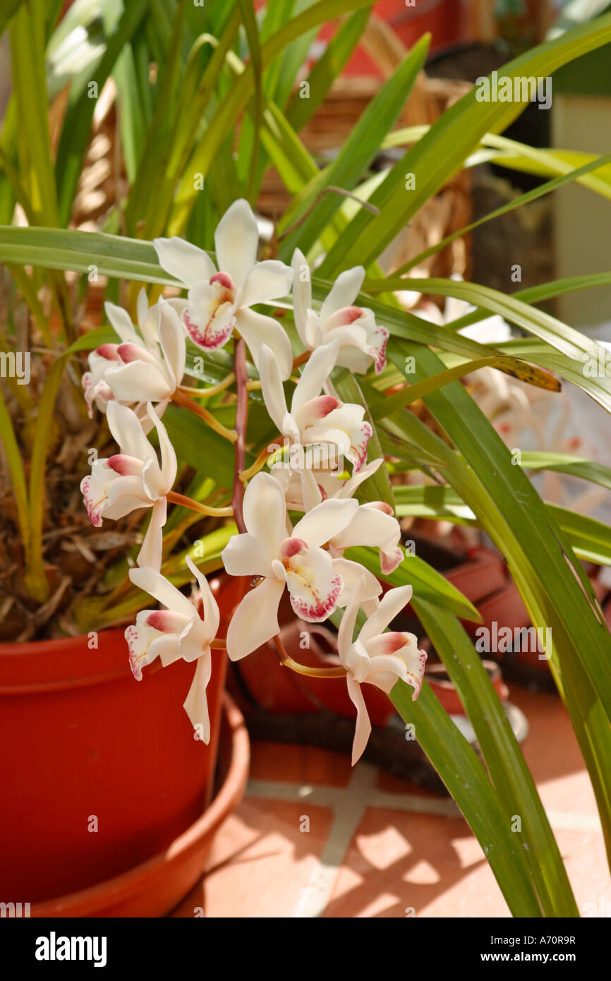 Potted Cymbidium Orchids In Bloom In Conservatory In Spring Stock