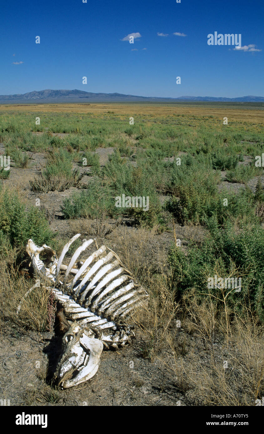 Sceleton of a dead cow at Rock Springs, historic California Trail, Nevada, USA - Stock Image
