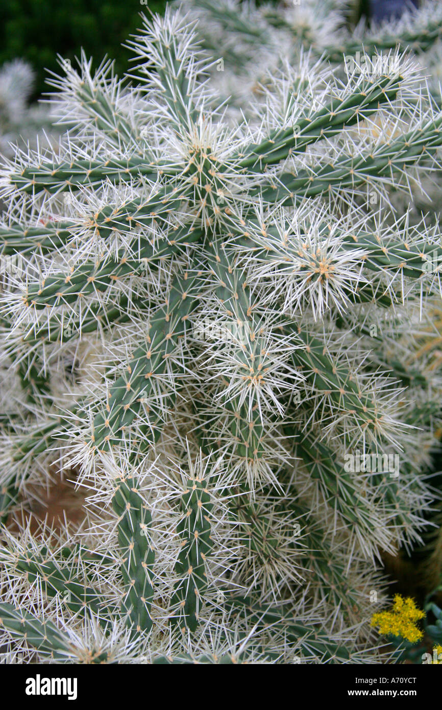 Abrojo, Clavellina, Coyonoxtle, Sheathed Cholla, Tencholote, Cylindropuntia tunicata, Cactaceae. North America. Stock Photo
