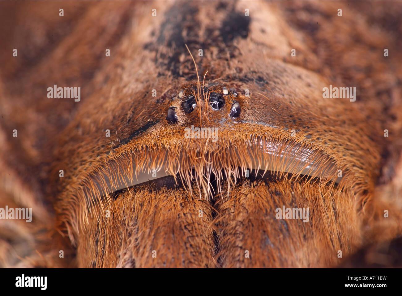 Tarantula Bird Eating Spider Stock Photos Tarantula Bird
