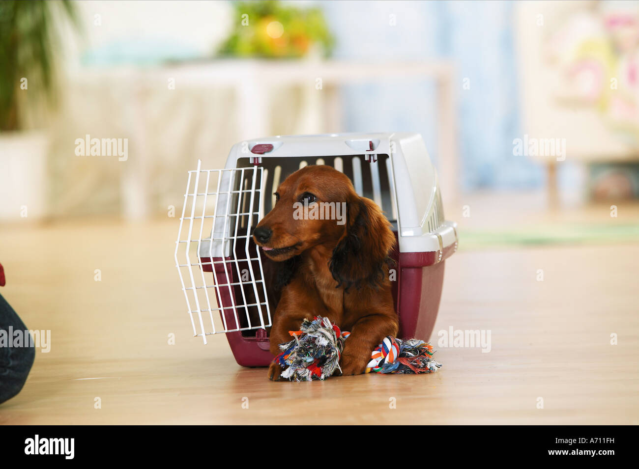 Long Haired Dachshund Puppy Lying In Transport Box With Toy Rope Stock Photo Alamy