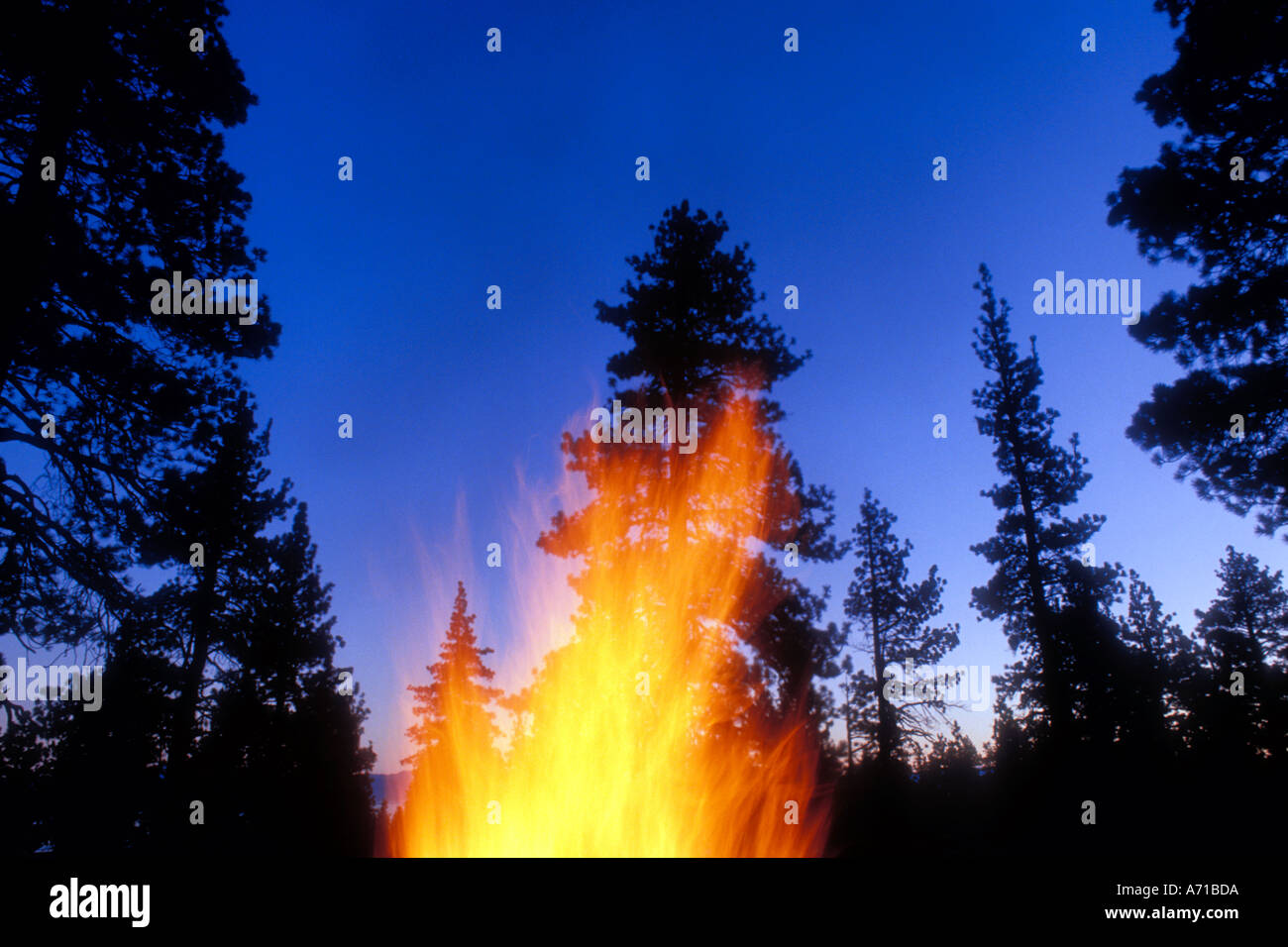 Pine forrest at dusk with flames in foreground - Stock Image