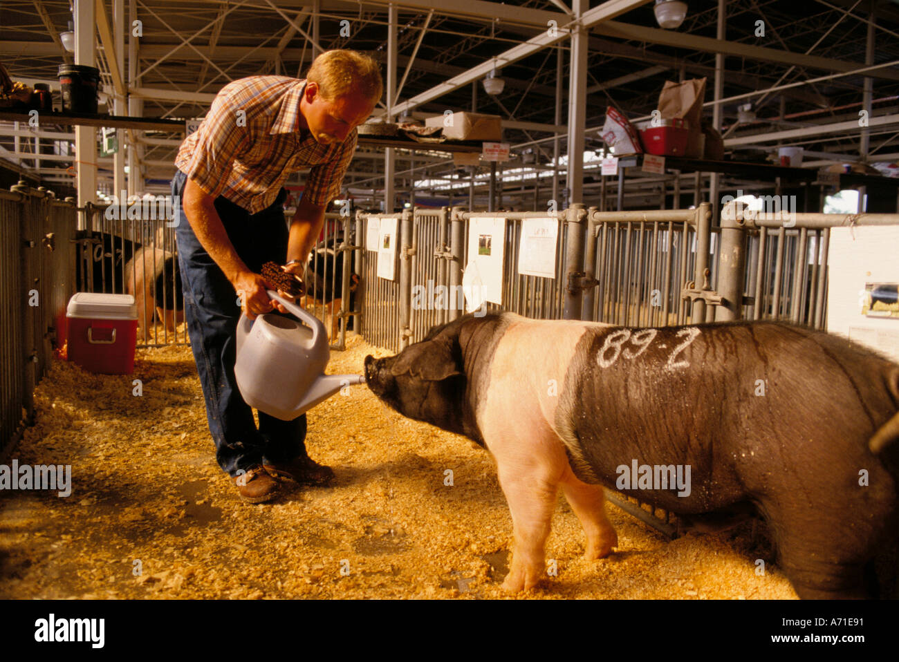 Man providing water to a large numbered pig at the Illinois State Fair in Springfield IL - Stock Image