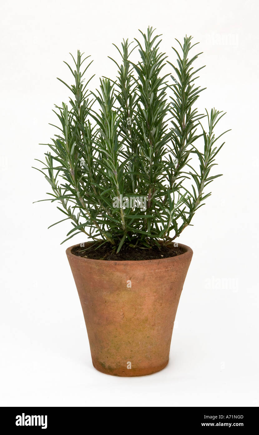 the herb rosemary growing in a terracotta pot against a white stock photo 6682828 alamy. Black Bedroom Furniture Sets. Home Design Ideas