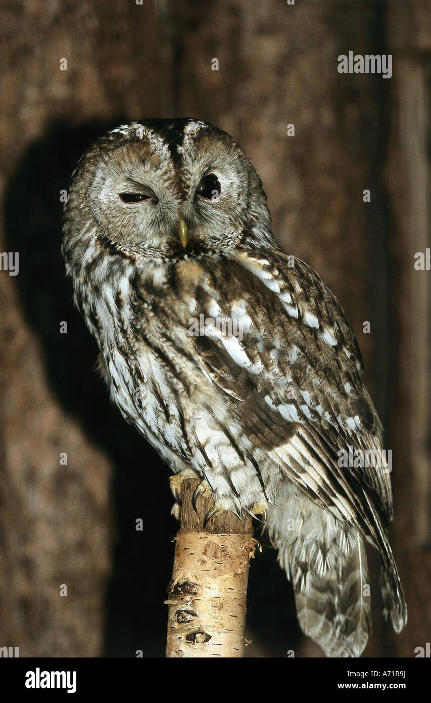 zoology / animals, avian / bird, Tawny Owl, (Strix aluco), sitting on tree stumpf, frontal shot, Lüneburger Heide, Stock Photo