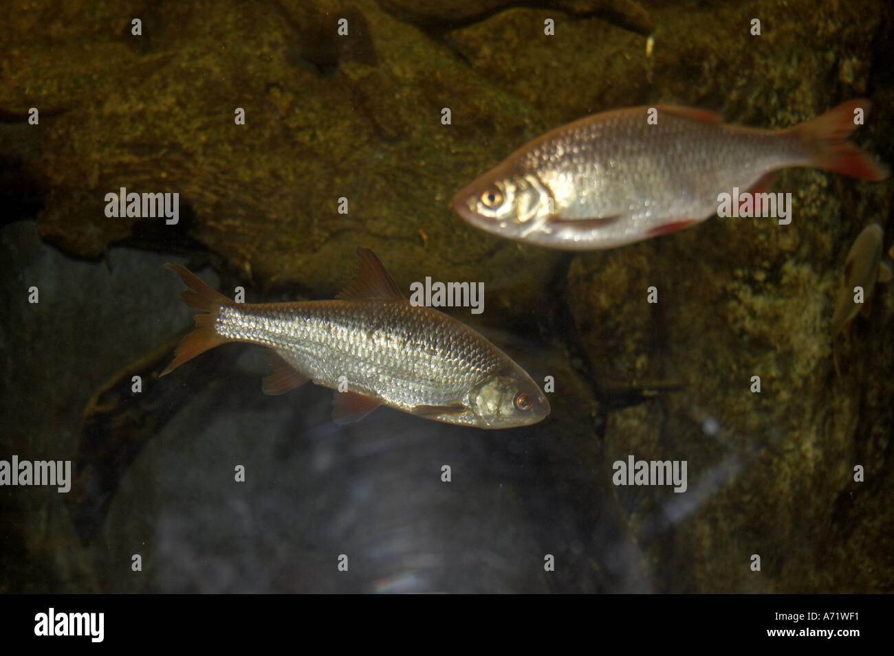 Rudd fish swimming in London Aquarium London SE1 Stock Photo