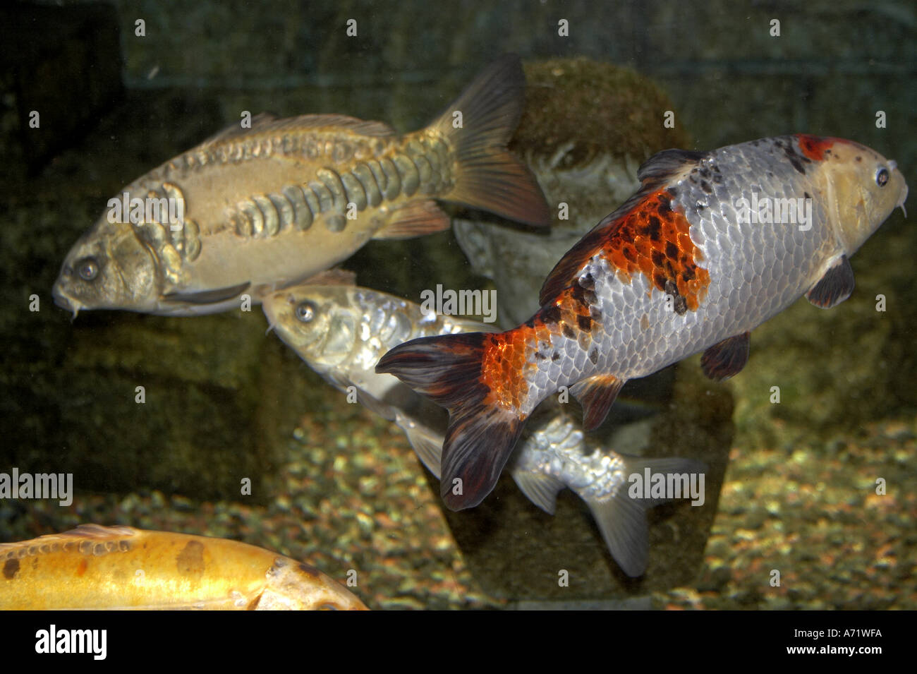 Koi carp fish swimming in london aquarium london se1 stock for Mini carpe koi