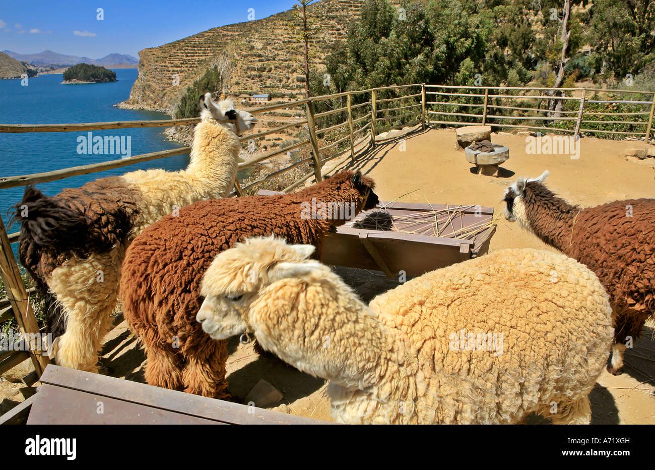 Alpacas Vicunas on Isla del Sol Lake Titikaka Bolivia - Stock Image