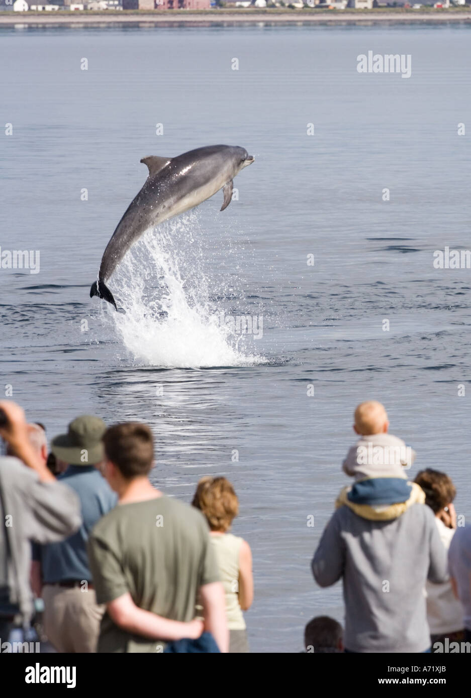 Moray Firth bottlenose dolphins breaching - Stock Image