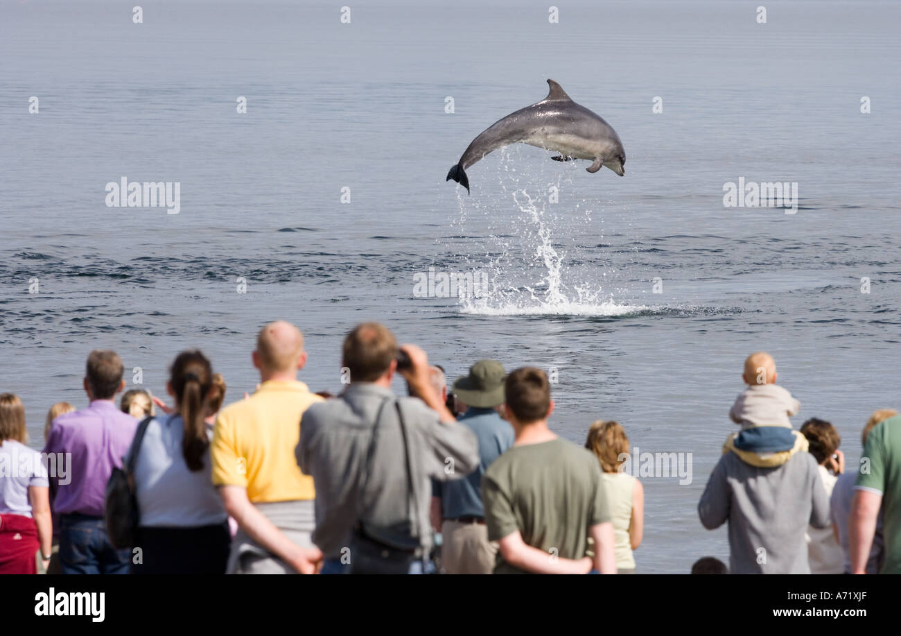 Moray Firth bottlenose dolphins breaching in Moray Firth near Inverness Scotland - Stock Image