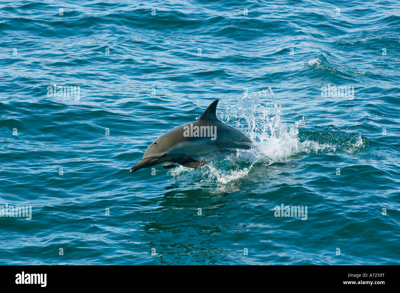 Long-beaked Common Dolphins (Delphinus capensis) Sea of Cortes, Baja California, MEXICO - Stock Image