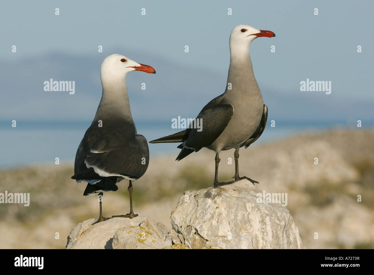 Heermann's Gull (Larus heermanni) Rasa Island, Sea of Cortez, Baja California, Mexico - Stock Image