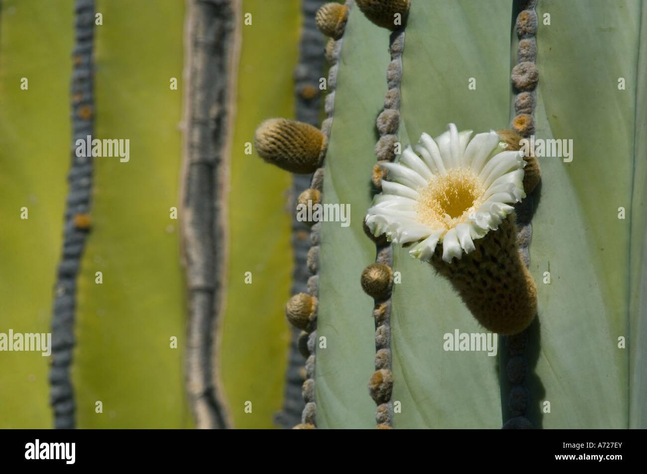 Cardon Cactus flower (Pachycereus pringlei) Baja California, Sea of Cortez, MEXICO - Stock Image