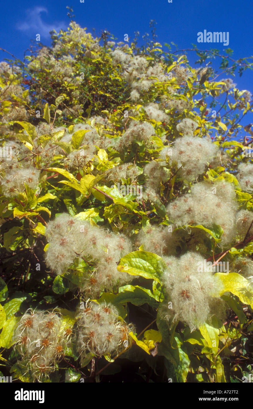 The fluffy autumn seeds of Old Mans Beard or Travellers Joy - Stock Image