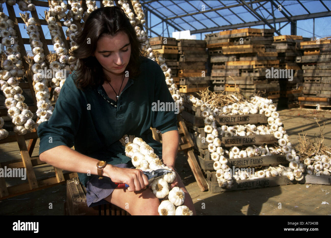 Woman trimming and tying strings of Garlic Mersley farms Arreton Isle of Wight England - Stock Image