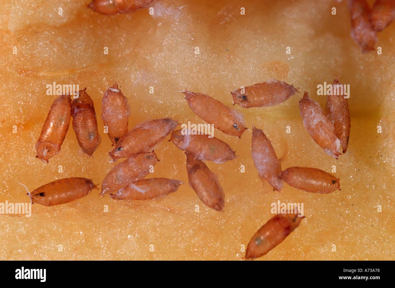 Fruit fly pupa - photo#51