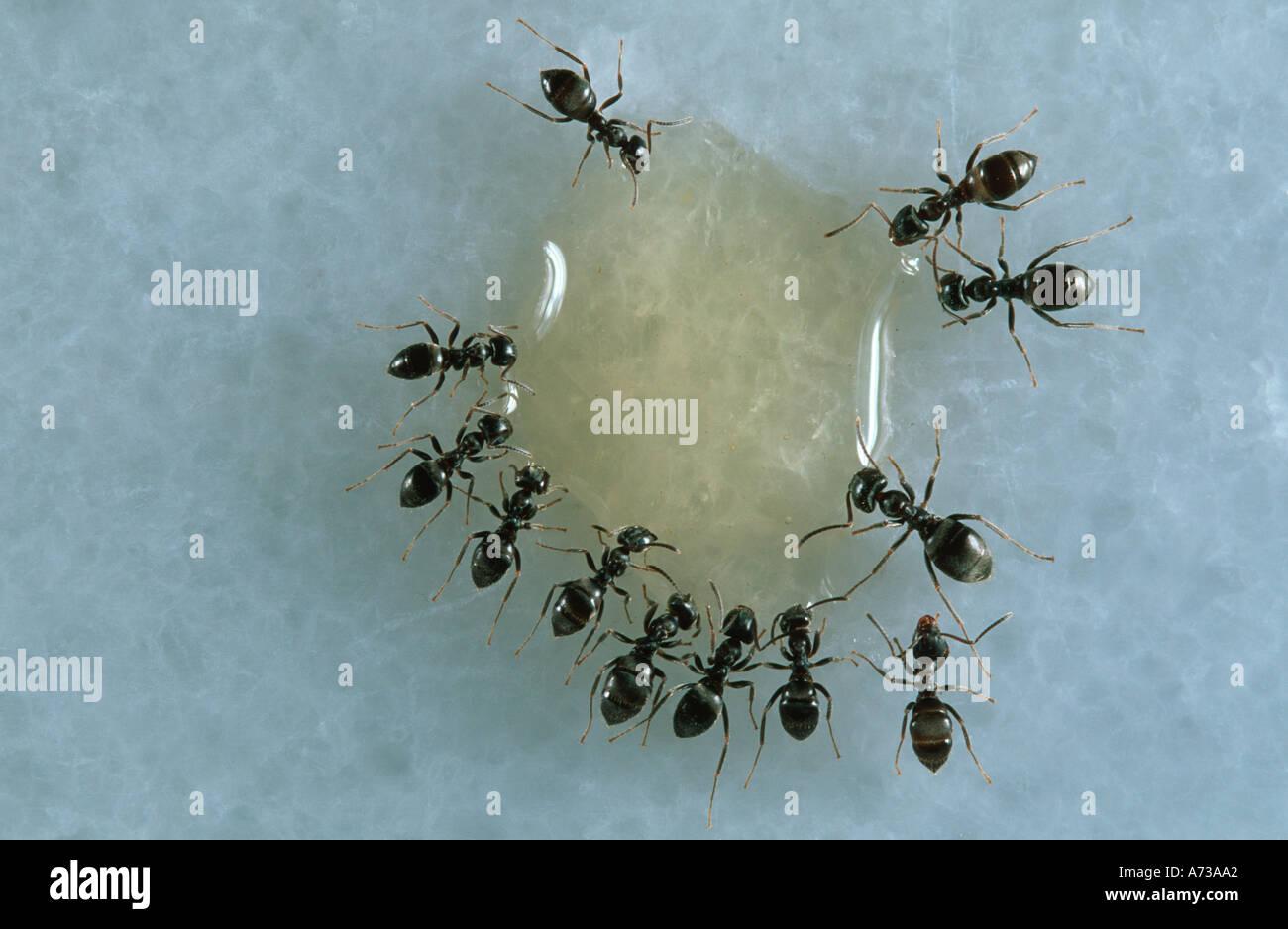 Common House Ants Lasius Grandis Stock Photos & Common House Ants ...
