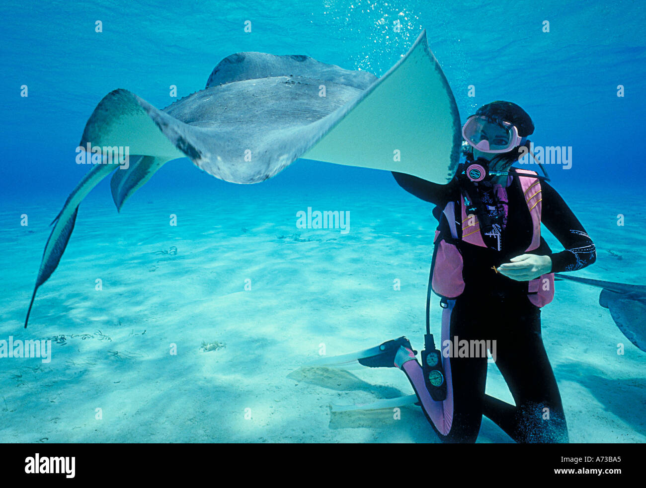 scuba diver with rays underwater at stingray city cayman islands - Stock Image