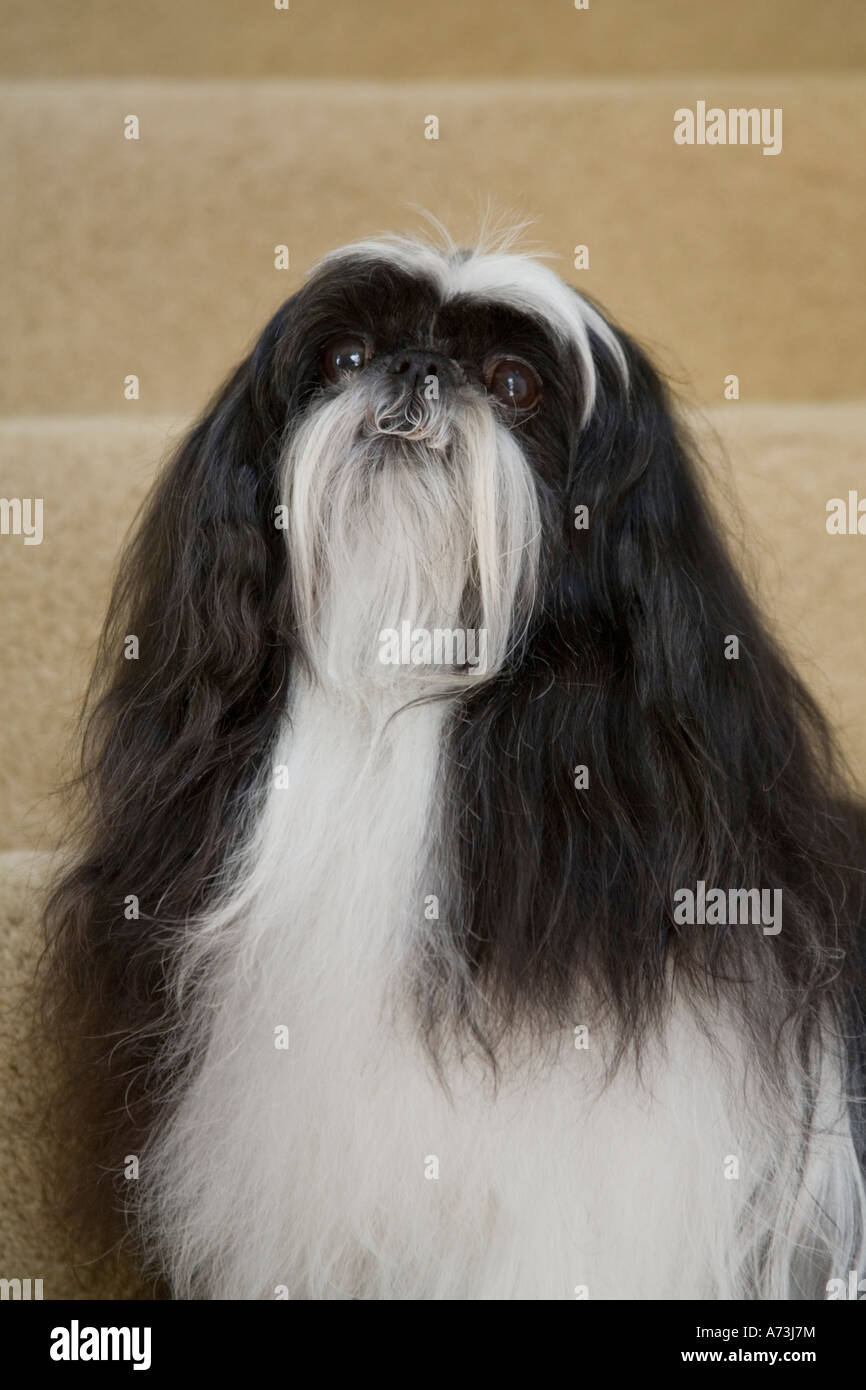 A long-haired black and white shih tzu dog sitting on  beige carpeted stairs, looking up. - Stock Image