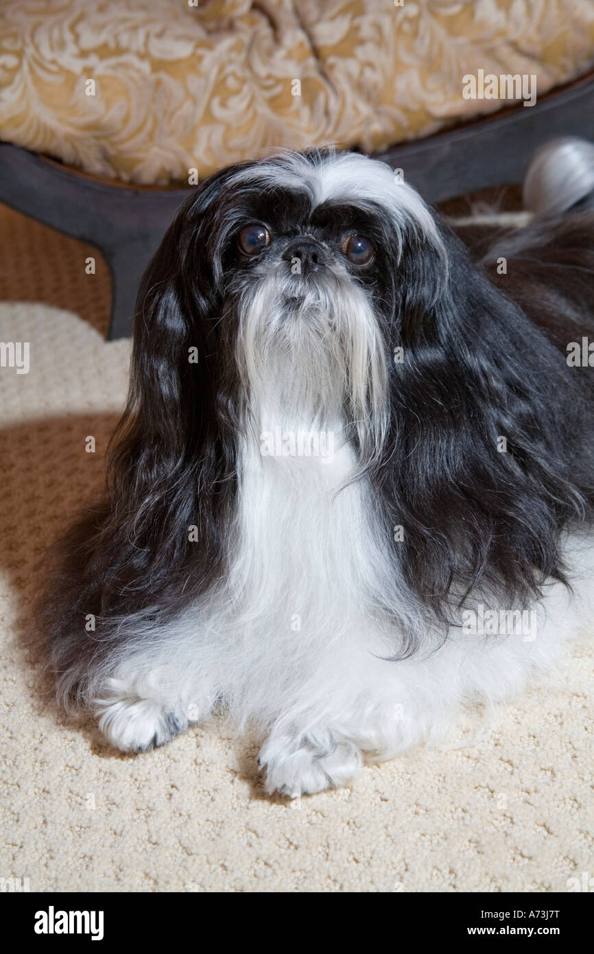 A long-haired black and white shih tzu dog sitting on a beige carpet. - Stock Image