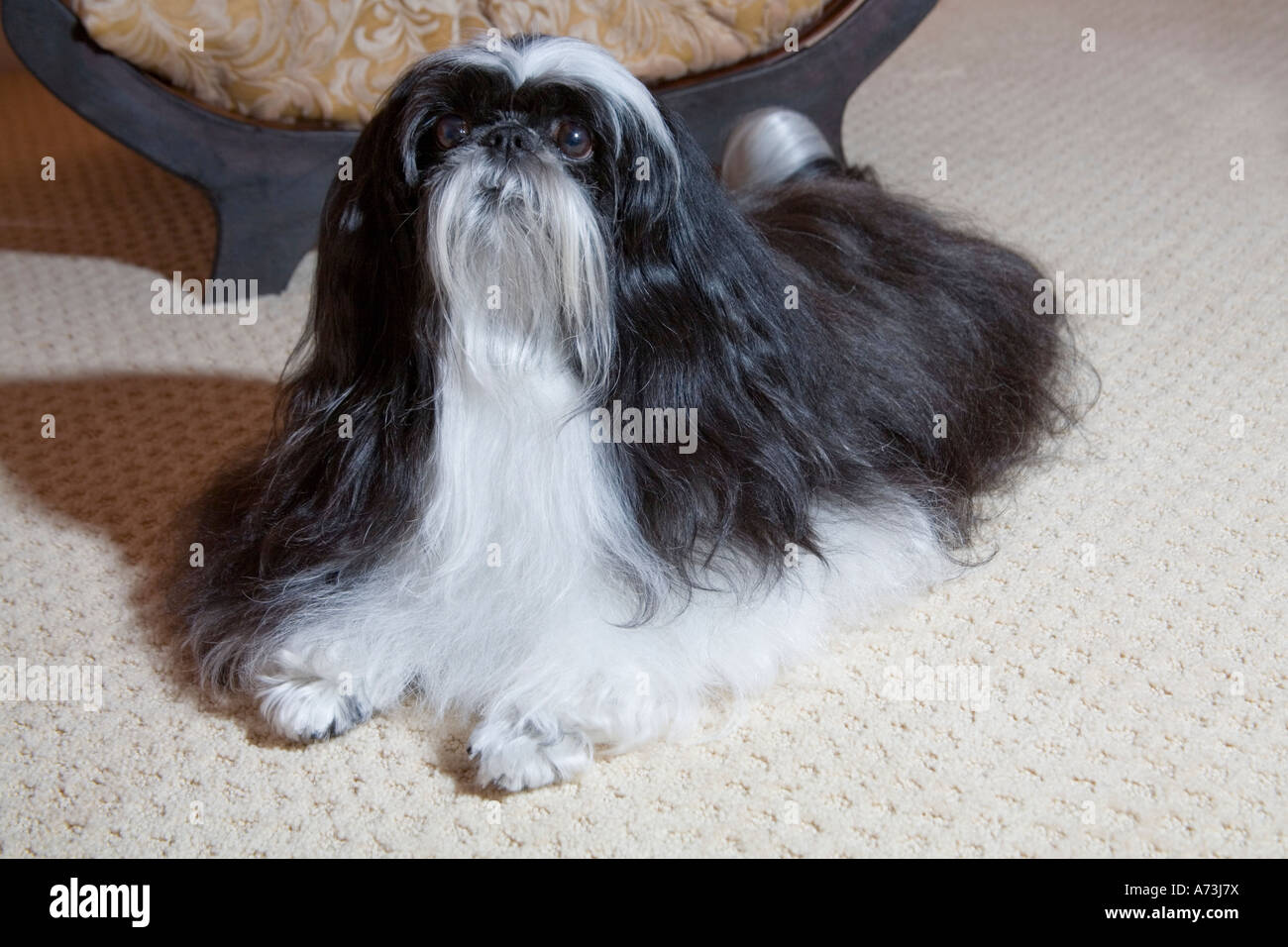 A Long Haired Black And White Shih Tzu Dog Sitting On A Beige Carpet