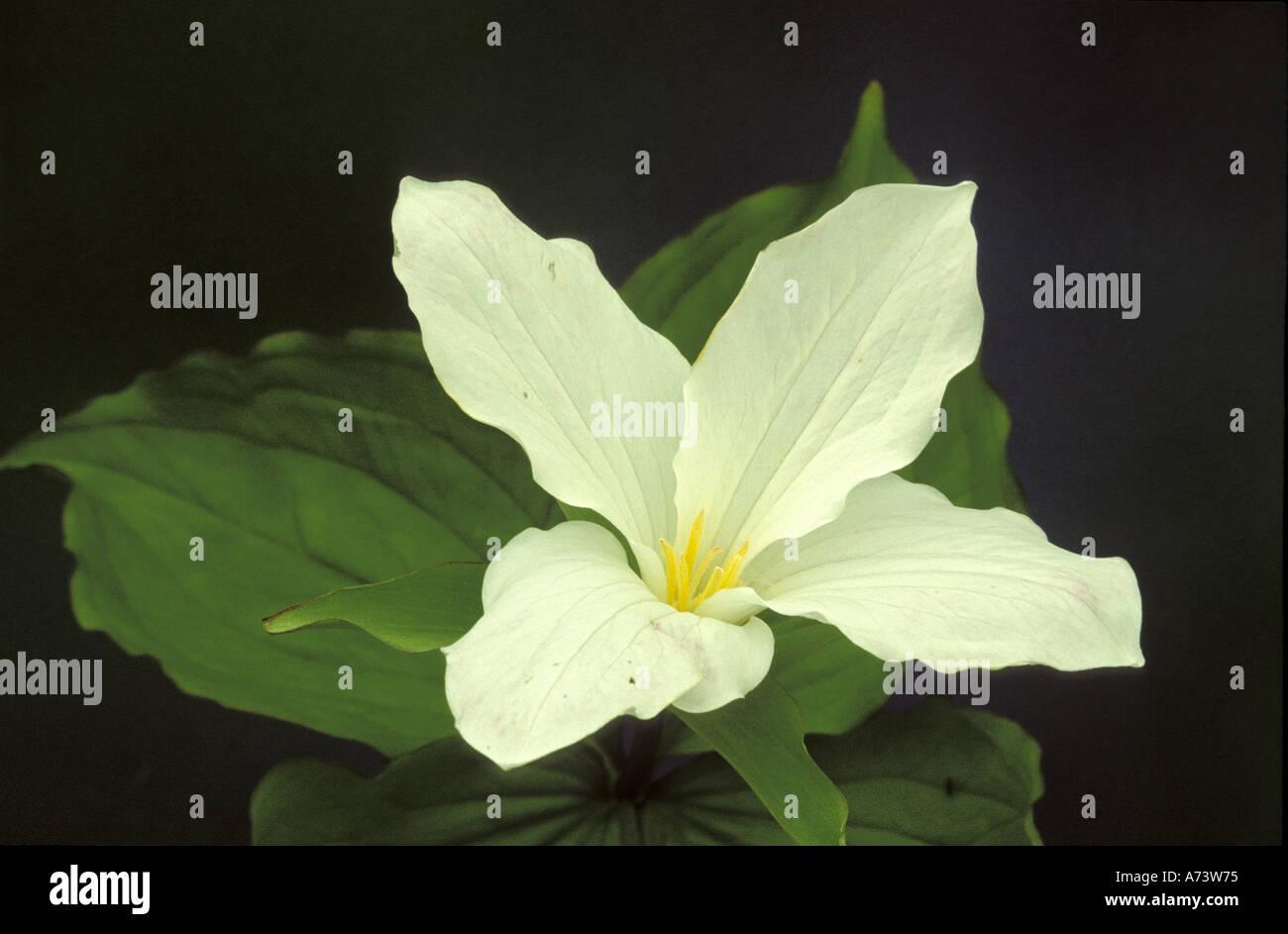 Michigan Wilderness State Park Four Petal White Trillium Trillium