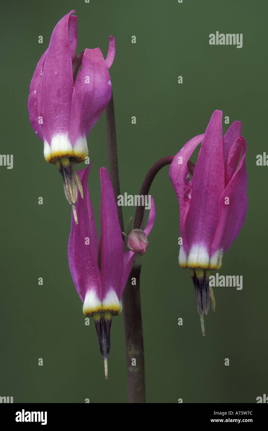Wyoming, Yellowstone National Park. Shooting Star Portrait (Dodecatheon meadia). - Stock Image
