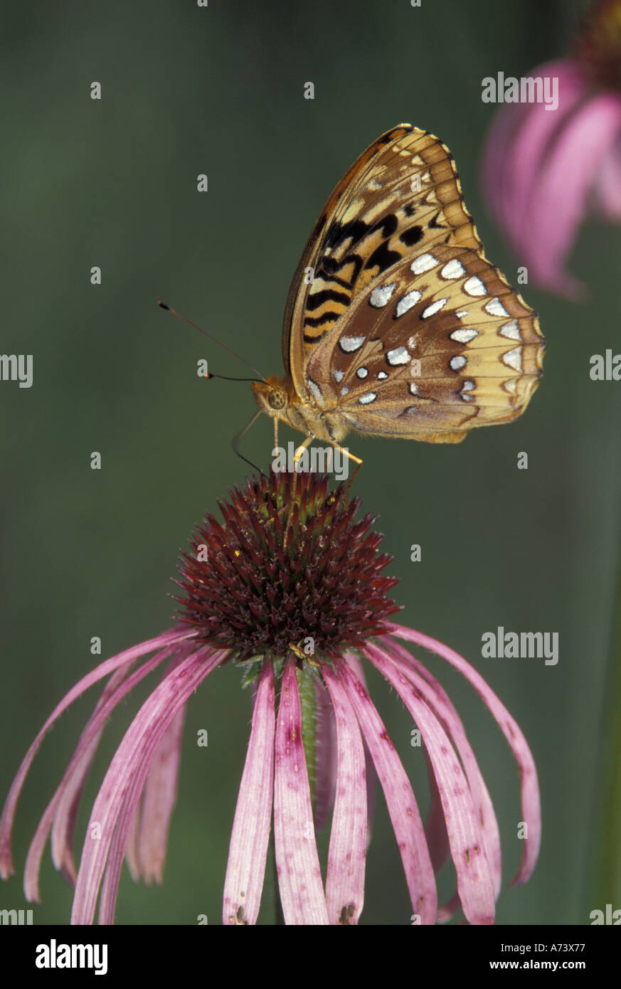 Great Spangled Fritillary on pale purple coneflower (Speyeria cybele) - Stock Image