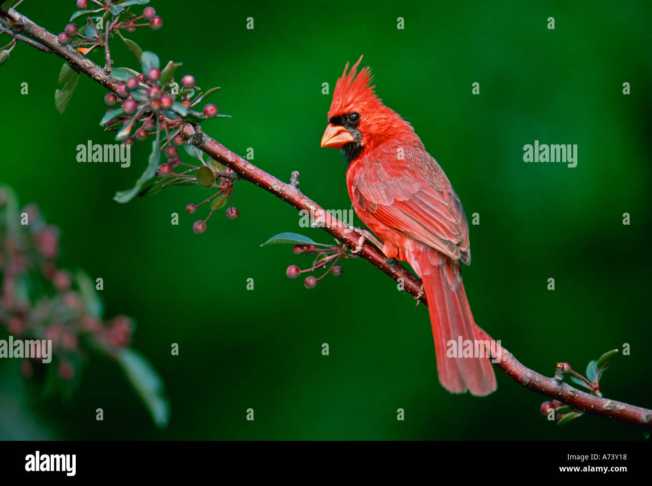 Male Northern Cardinal, Cardinalis - Stock Image