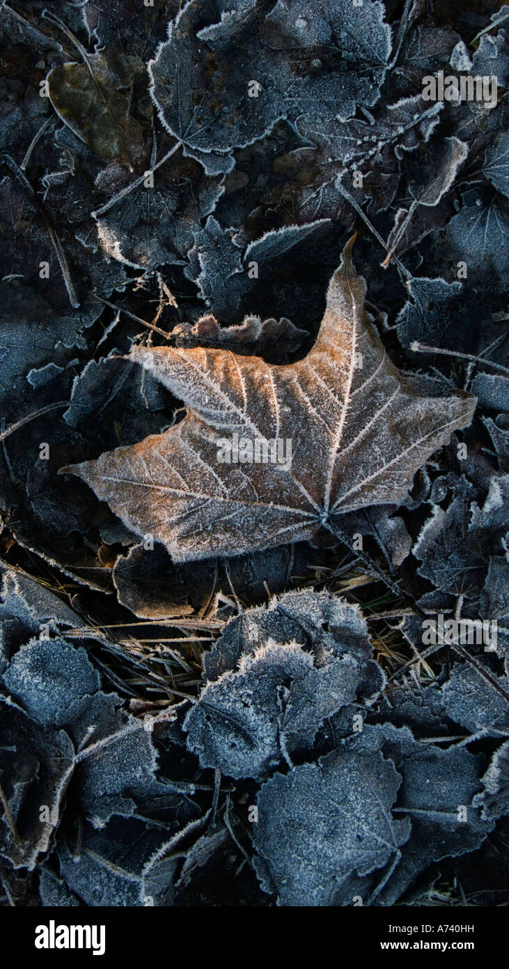 A touch of winters first frost on fallen leaves Stock Photo