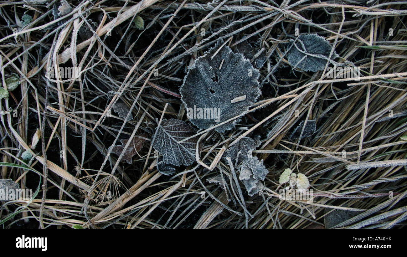 A touch of winters first frost on fallen leaves - Stock Image