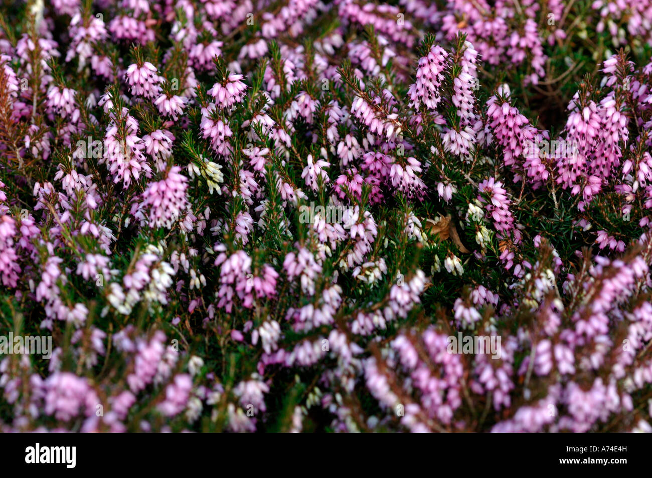 Calluna Vulgaris Spring Torch Stock Photos Calluna Vulgaris Spring