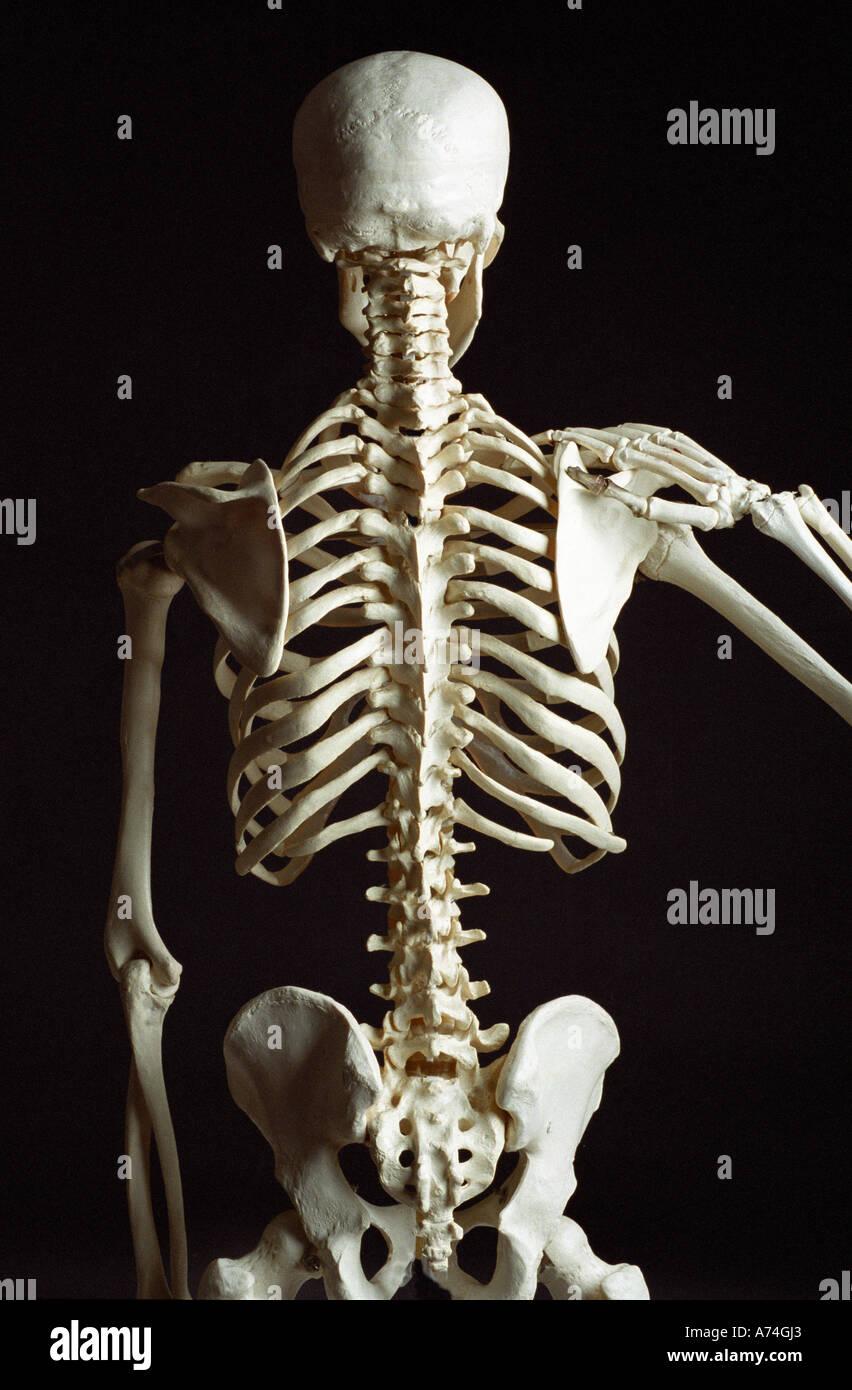 Skeleton from rear showing backbone and vertebrae Stock Photo ...
