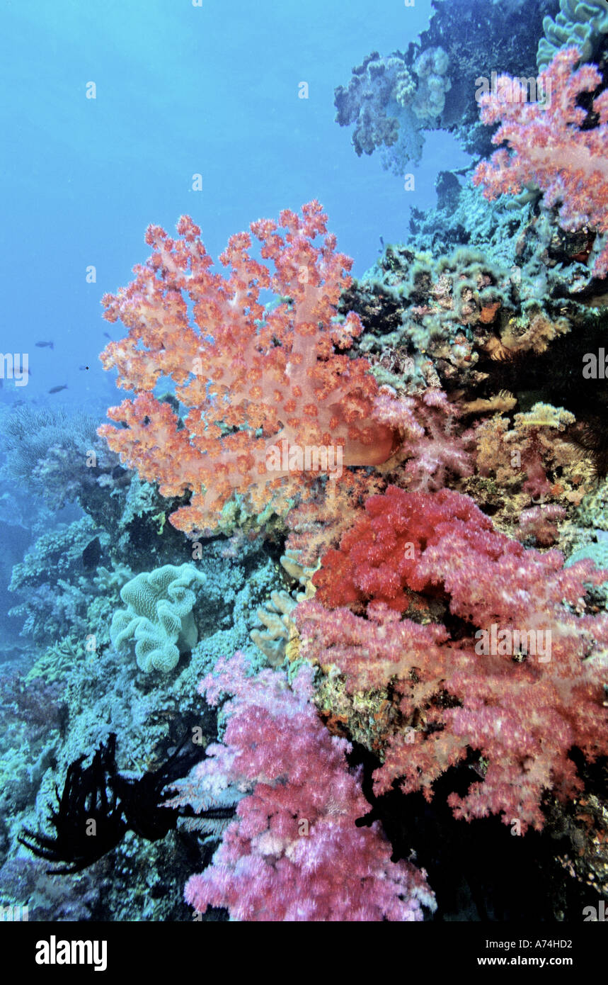 Oceania, Fiji. Colorful Sea Fans and other Corals Stock Photo