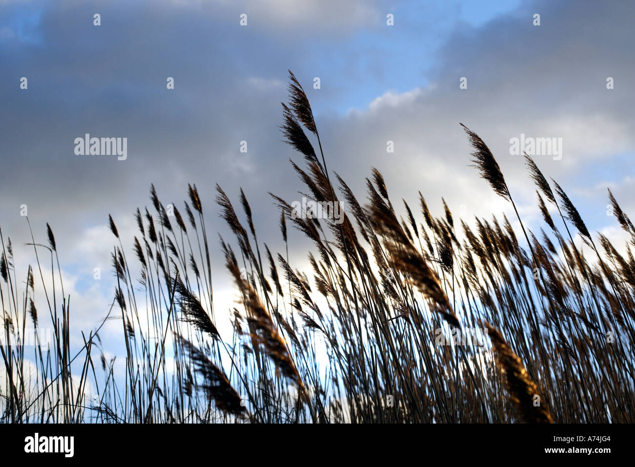 Sea Grasses along the Maine Coastline - Stock Image
