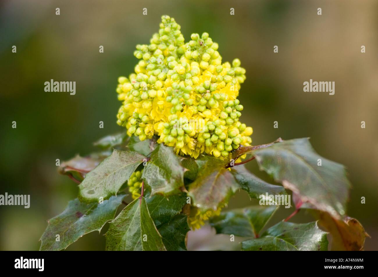 Yellow flowers of hollyleaved barberry or oregon grape or berberis yellow flowers of hollyleaved barberry or oregon grape or berberis mahonia aquifolium berberidaceae mightylinksfo