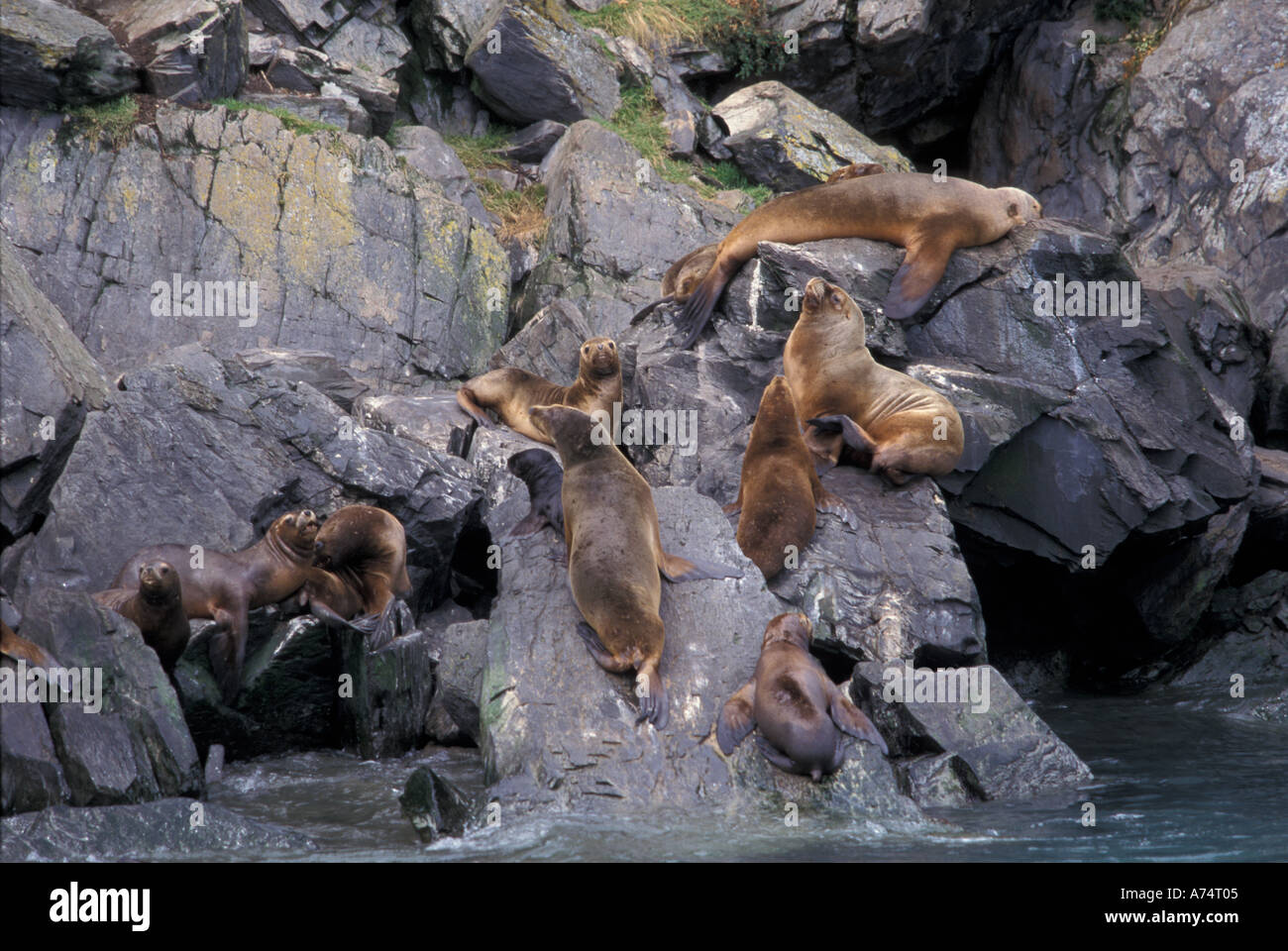 Chile, Magellanes. Sea lion colony at Parque Nacional Bernardo O'Higgins. - Stock Image