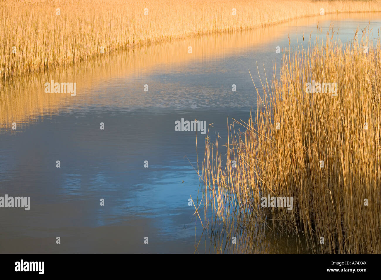 reed beds with river running through - Stock Image
