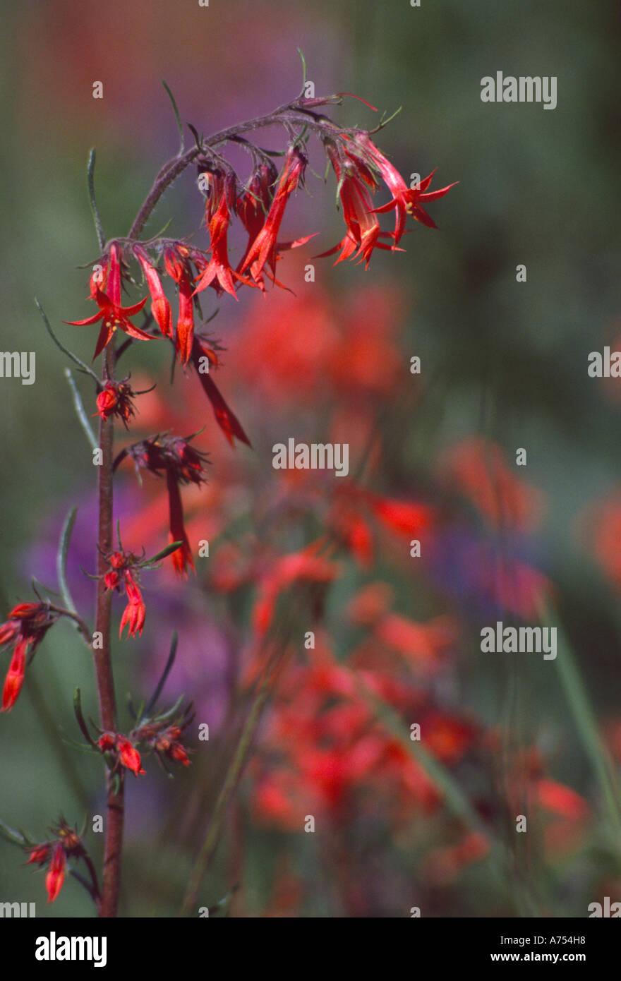 wildflower Skyrocket Gilia Ipomopsis aggregata Blair Meadows Willamette National Forest Oregon USA - Stock Image
