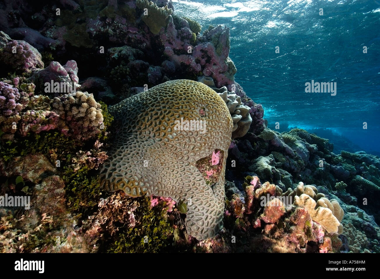 Massive faviid coral colony Rongelap Atoll Marshall Islands Micronesia - Stock Image