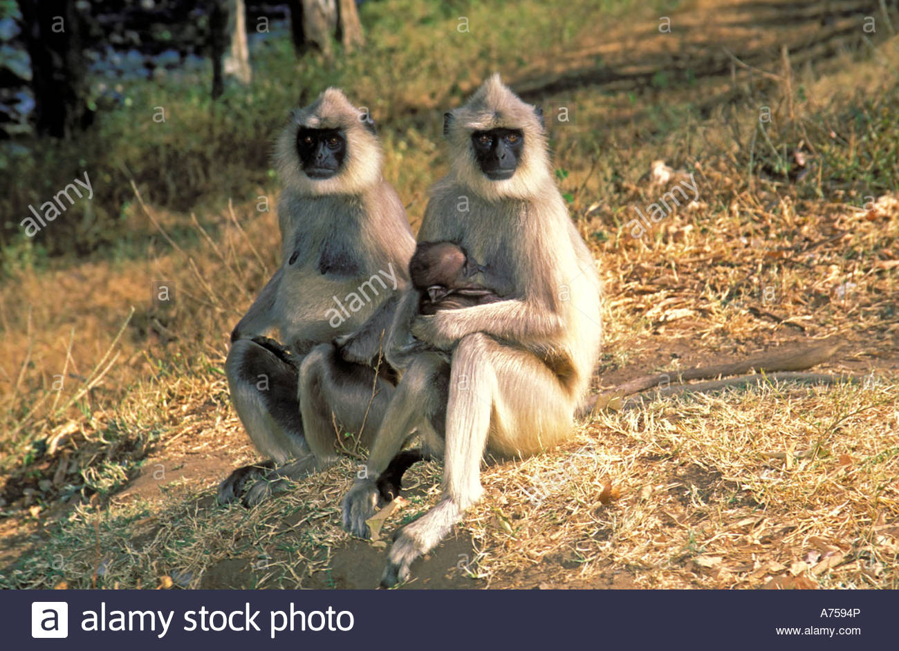 HANUMAN LANGURS IN INDIA - Stock Image