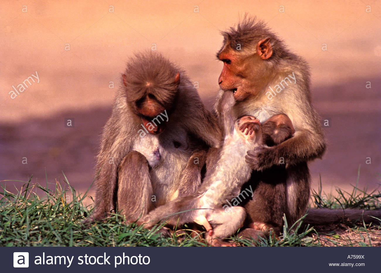 BONNET MACAQUES IN INDIA - Stock Image