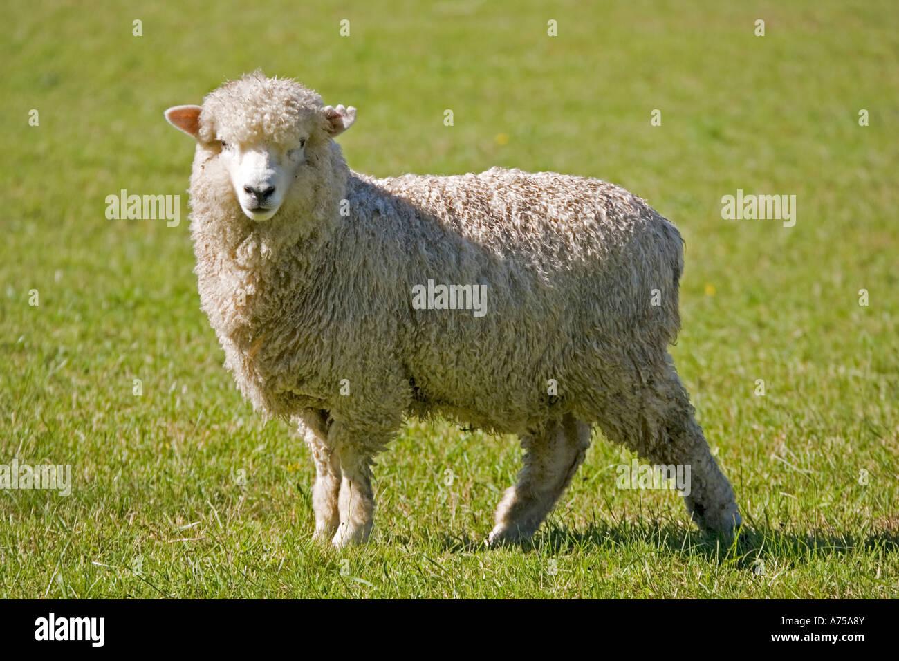 Portrait unshorn Merino sheep Mackenzie Country South Island New Zealand - Stock Image