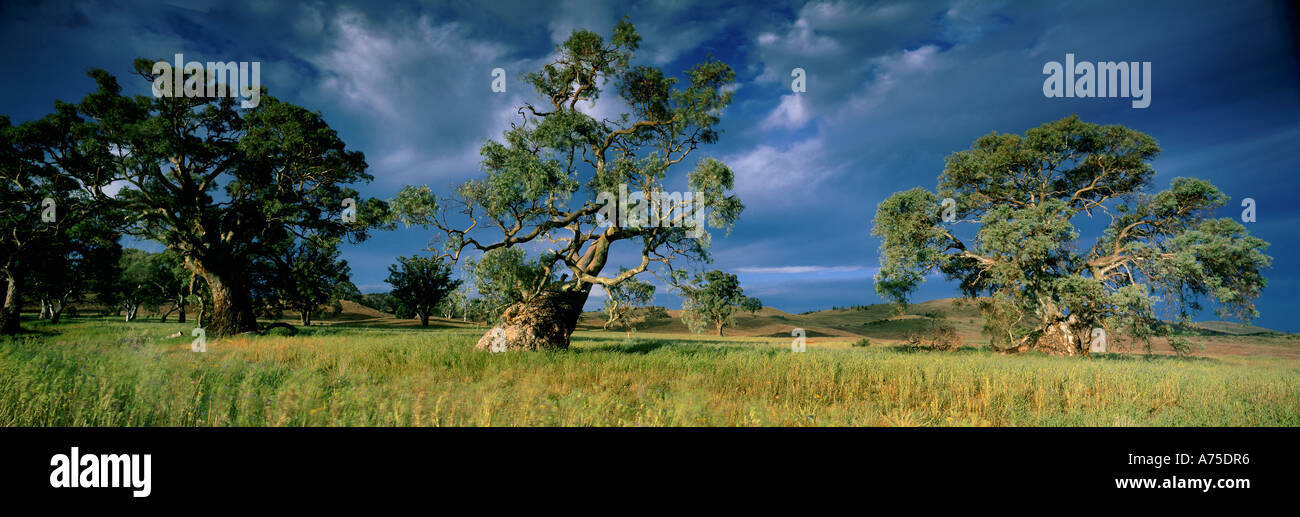 gum trees Wilpena Flinders Ranges South Australia - Stock Image